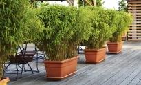 Tot 58% korting set van 3 of 6 Fargesia-bamboestruiken bij Groupon