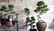 57% Korting XL Japanse Bonsai voor €29,95 bij Actievandedag