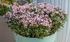 61% Korting 2 of 4 Andromeda Polifolia planten voor vanaf €4,99 p.st bij Groupon