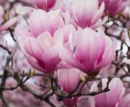 67% Korting Set Van 3 Of 6 Lichtgeurende en Stervormige Magnolias Bloemen voor €19,95 bij Voordeelvanger