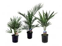 69% Korting 3 Buiten Palmbomen voor €24,95 bij Actievandedag
