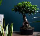 67% Korting 2 x Ficus Microcarpa Ginseng Bonsaiboom met Keramische Potten bij Koopjedeal