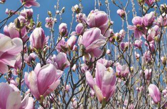 Tot 67% Korting Set van 3 of 6 Magnolia planten voor vanaf €18,90 bij Groupon