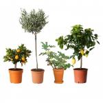 67% Korting 4+4 GRATIS Mediterrane Fruitbomen  Citroen, Vijg, Olijf en Sinaasappel voor €39,99 bij Koopjedeal