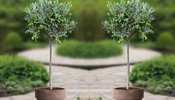 44% Korting 1 of 2 Winterbestendige Olijfbomen voor vanaf €24,99 p.st bij Groupon