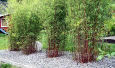 50% Korting Set van 3 rode bamboe struiken voor €24,95 bij ActievandeDag