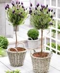 54% Korting Set van 2 Fleurige Lavendelboompjes incl. Rieten Manden voor €22,99 bij iBOOD