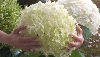 Tot 64 % Korting Hortensia's Annabelle XXL voor vanaf €13,99 p.st bij Groupon